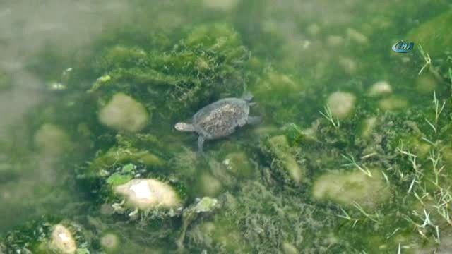 Kaplumbağalar Deprem Paniğine Yol Açtı
